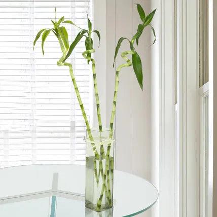3 Spiral Stick Lucky Bamboo