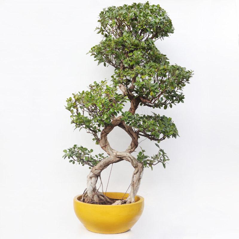 30 Year Old Triple 8 Ficus Bonsai Tree