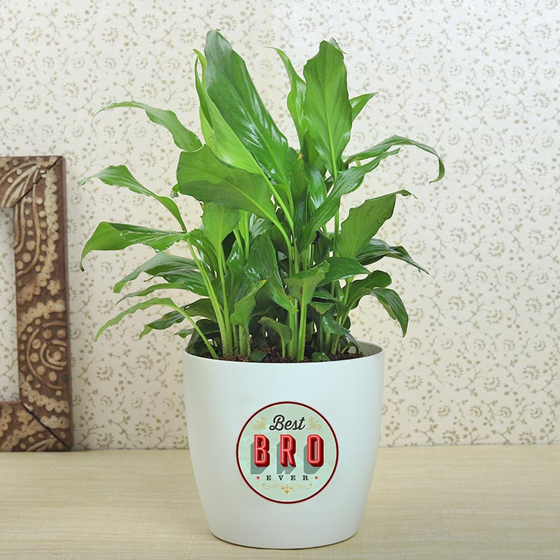 Product View in Rakhi With Plants - Peace Lily Plant With Rakhi N Cadbury