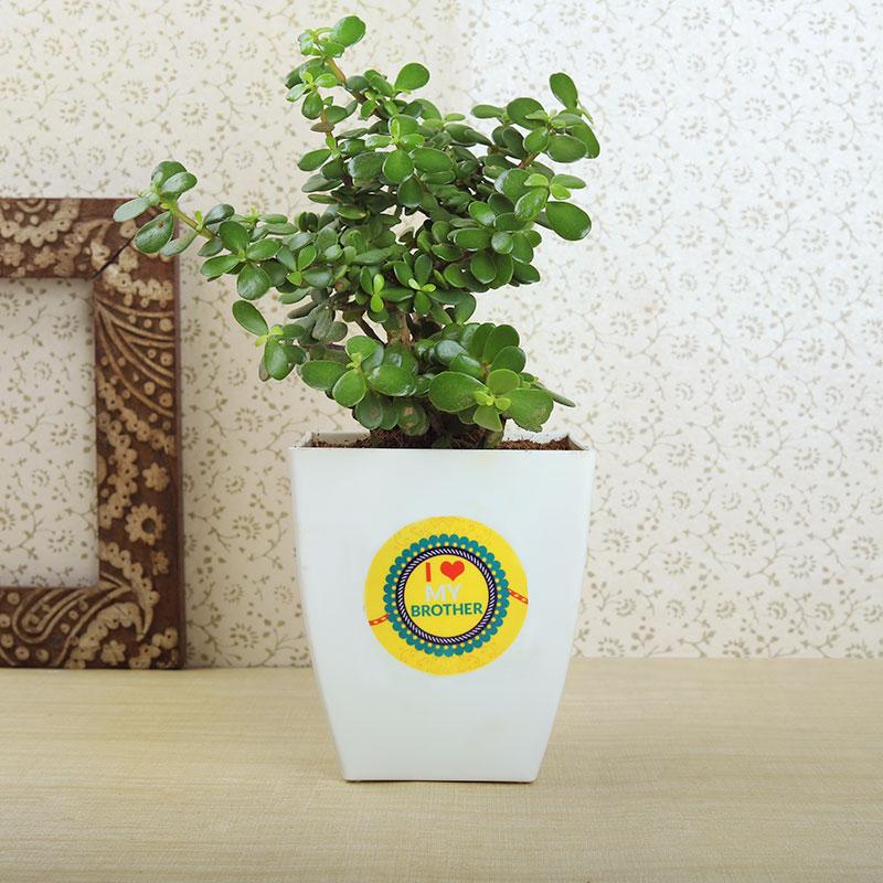 2nd Product in Rudraksha Rakhi With Chocolate Box N Jade Plant