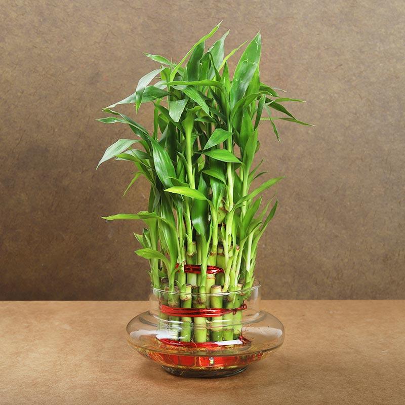 Rudraksha Rakhi Bamboo Plant N Chocolates