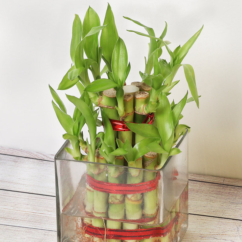 Online Plant - Lucky Bamboo
