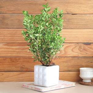 Cool Boxwood Plant