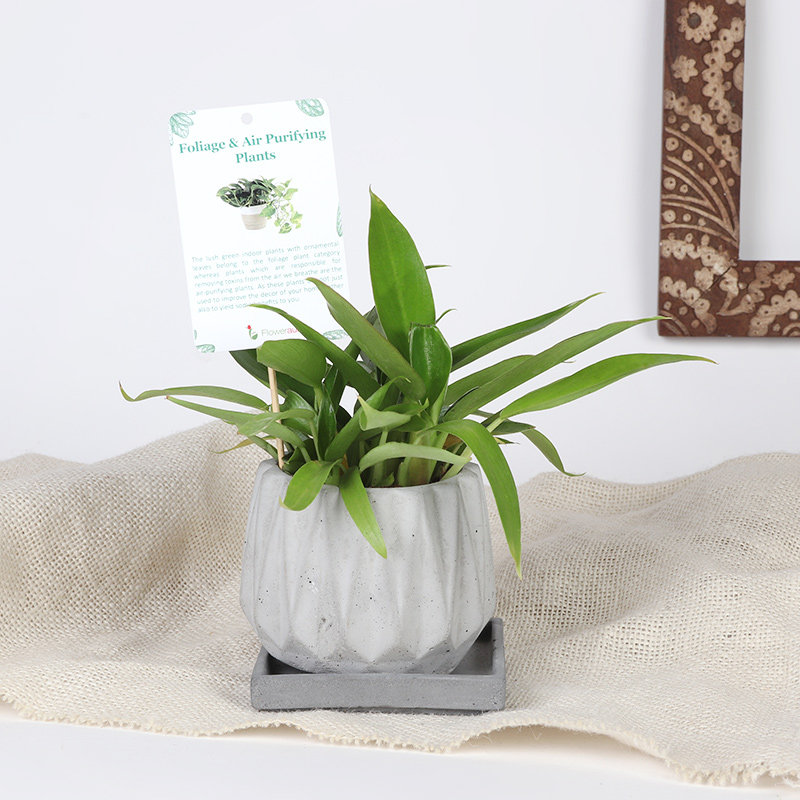 Imperial Red Philodendron - Foliage Plant Indoors in Concrete Vase Multicon