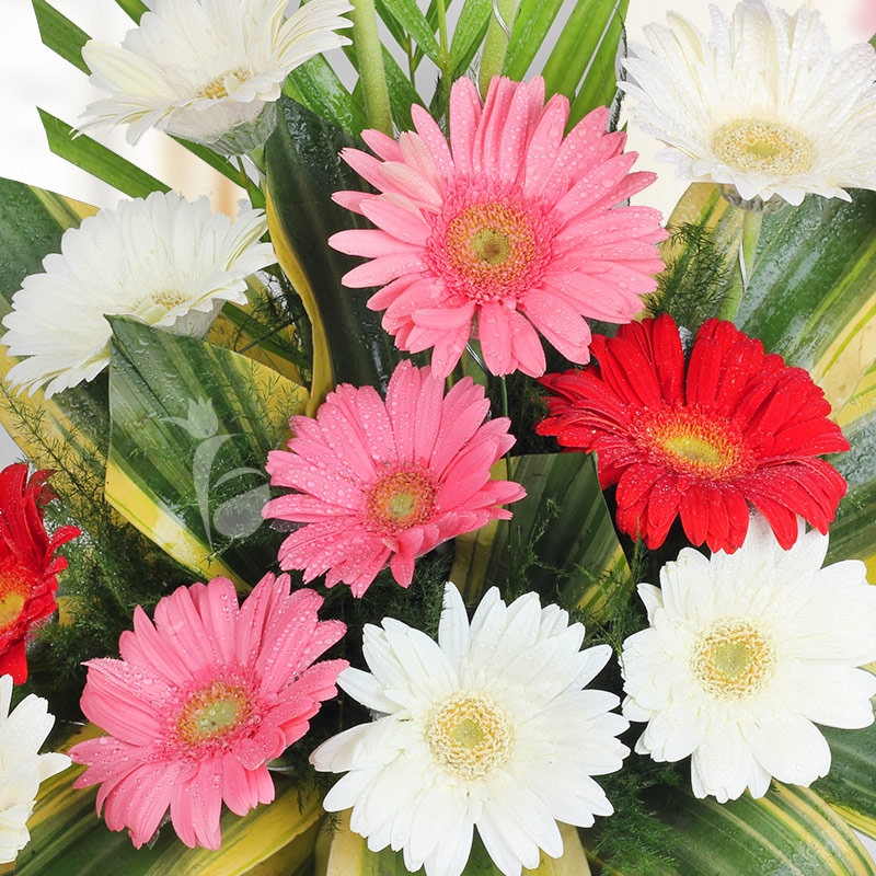 18 mixed colored Gerberas in Zoomed in View