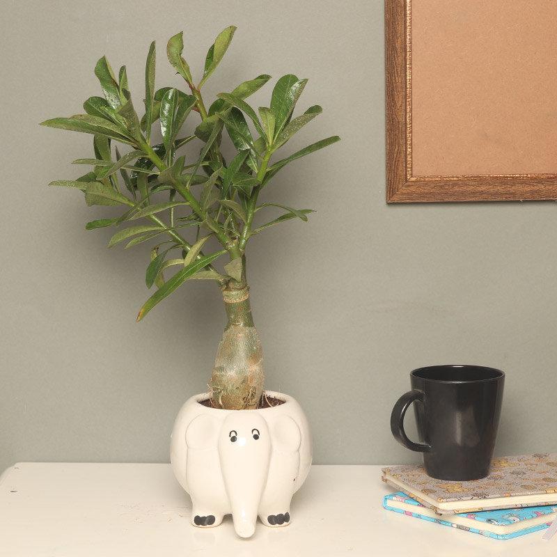 Plant Adenium Dessert Rose Plant