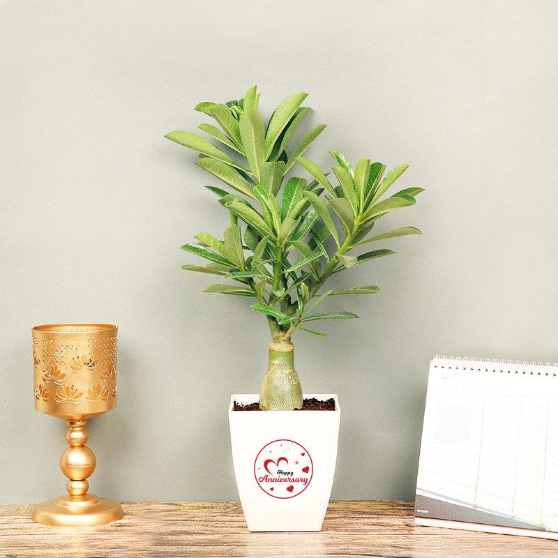 Adenium for Anniversary - Flowering Outdoors Plant in Floweraura Chatura Vase