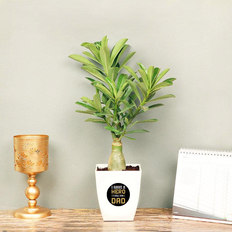 Adenium Plant in White Vase for Dad