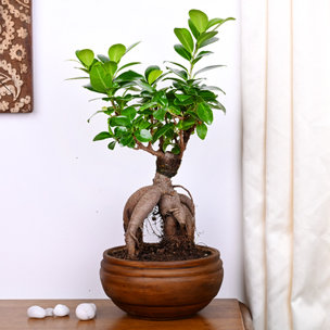 Ficus Microcarpa Plant in a Fancy Vase