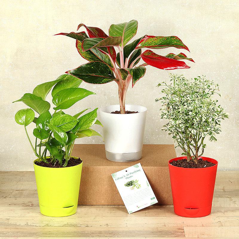 Aglaonema Arelia Money Plant Combo