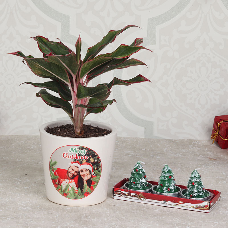 Aglaonema Plant with Candles Combo Gift for Christmas