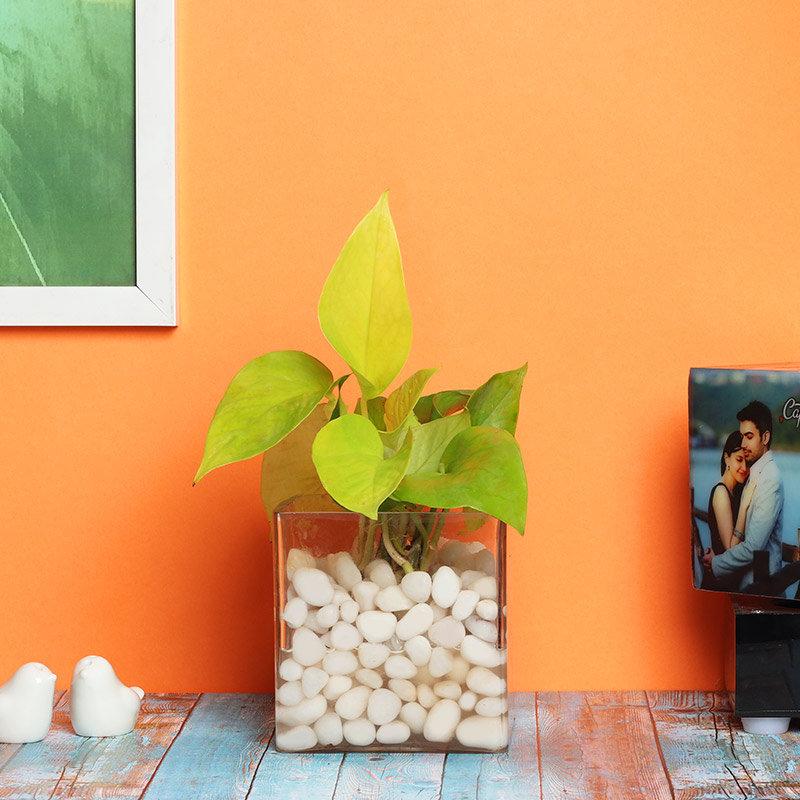 Money Plant Terrarium with Pebbles