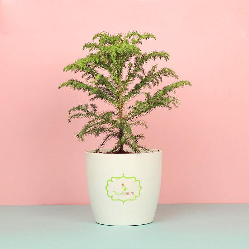 Araucaria Plant - An Indoor Plant