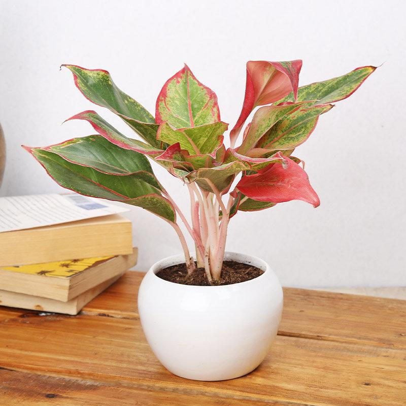 Artistic Aglaonema Pink Plant