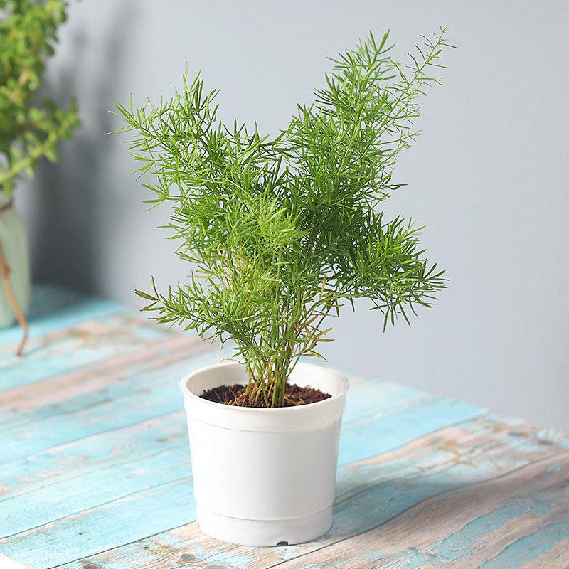 Asparagus Grass Plant