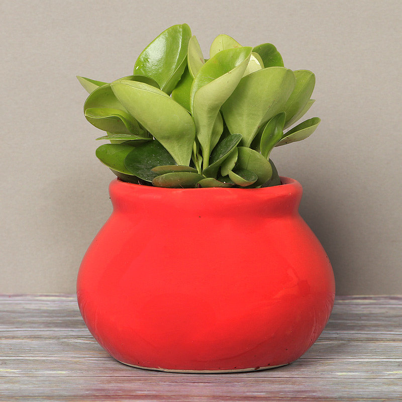 Peperomia Plant in Red Vase