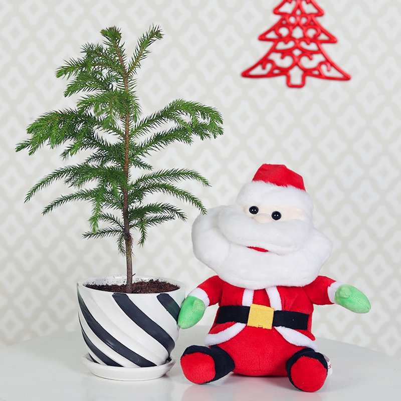 Auracaria Plant - A Christmas Gift for Plant Lover