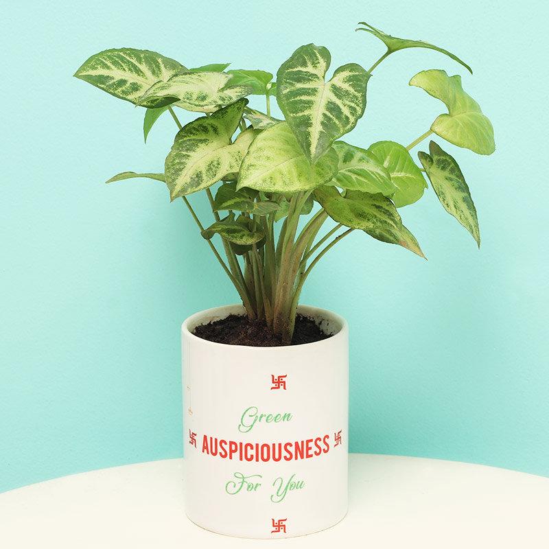 Navratri Syngonium Plant