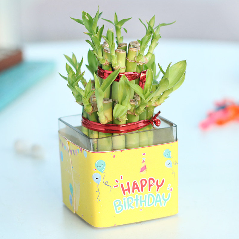 Bamboo Birthday Plant