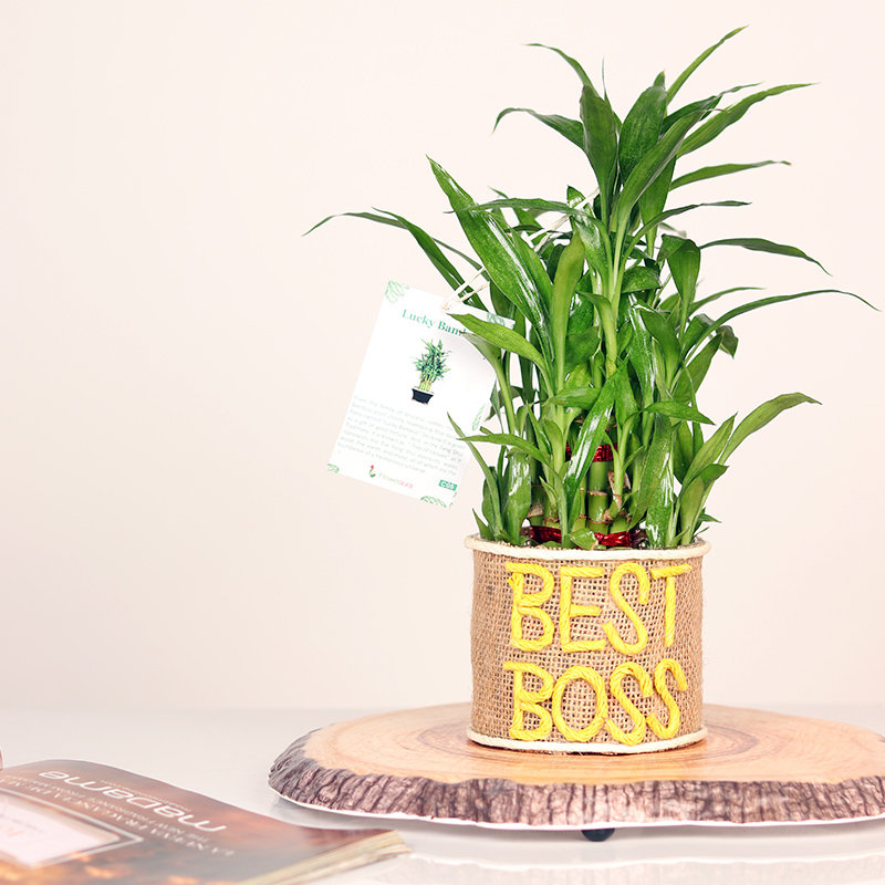 Bamboo Boss Two layer Plant