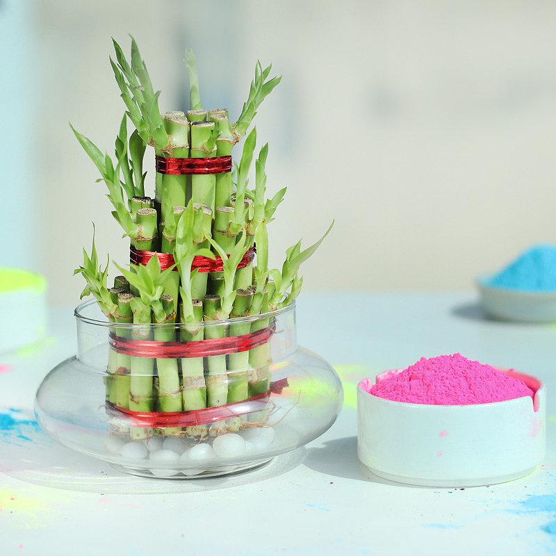 Bamboo Plant with Gulal Holi Combo
