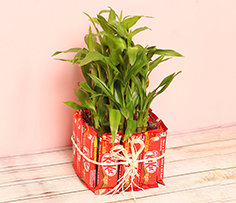 Plant and Chocolates