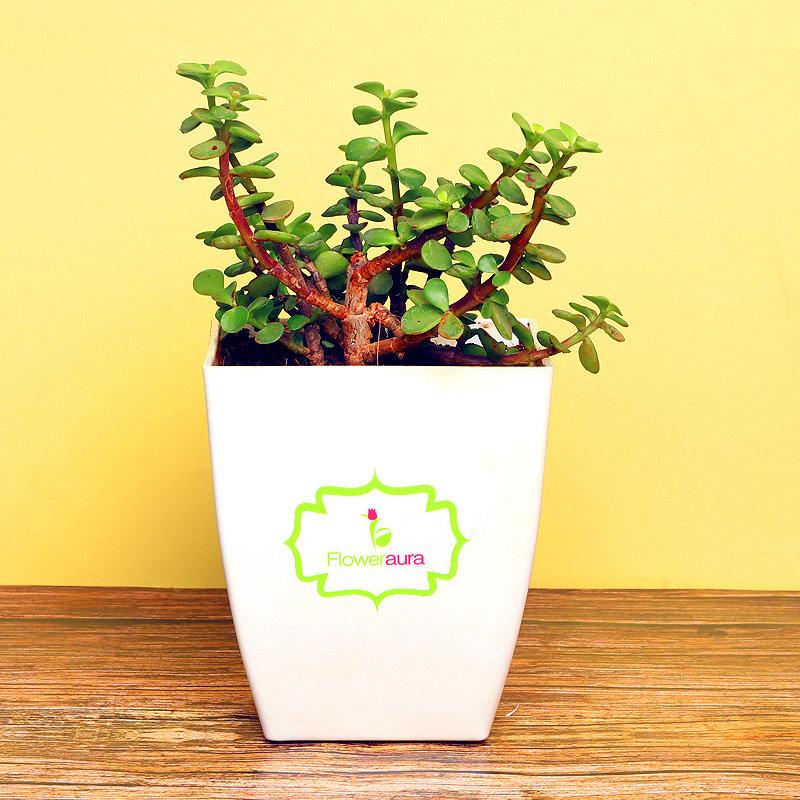 Jade Plant in Ceramic Vase