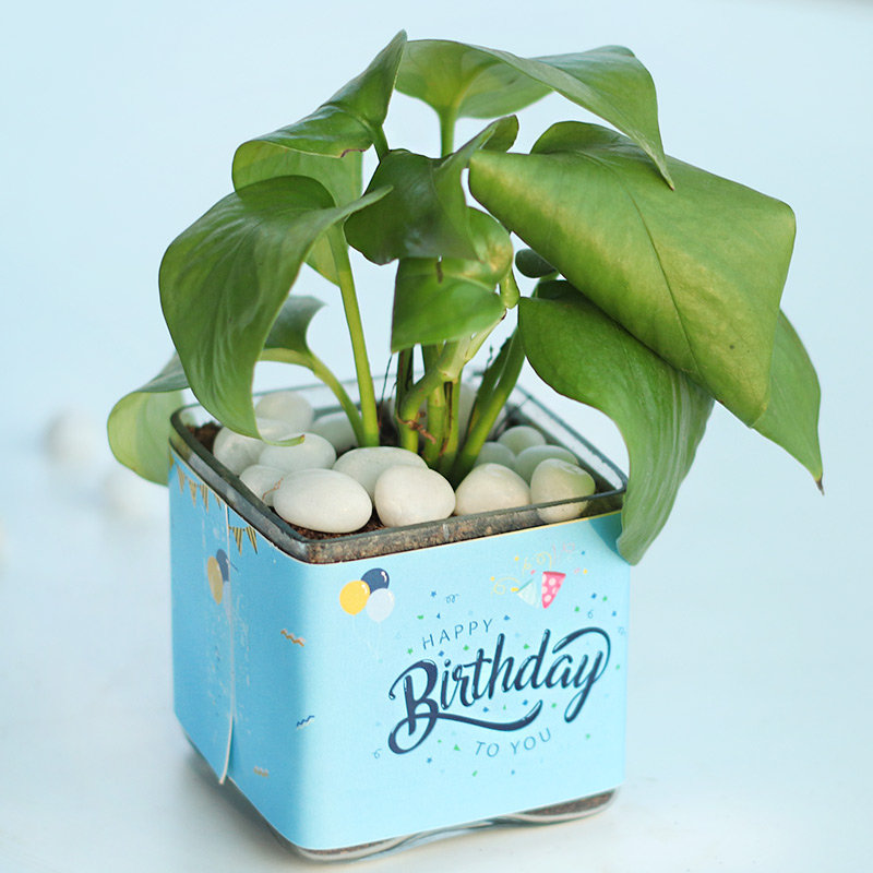 Birthday Money Plant