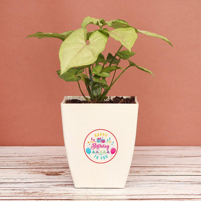 Birthday Syngonium Plant - Foliage Indoors Plants in Floweraura Chatura Vase