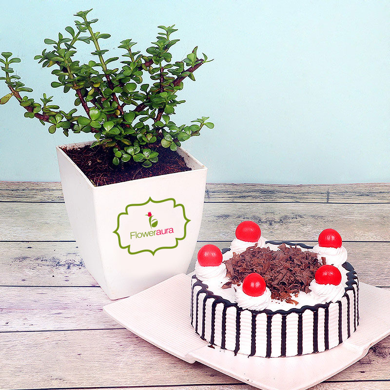 Jade Plant with Black Forest Cake