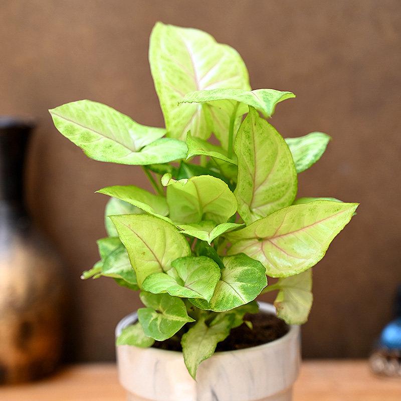 Aromatic Syngonium Plant