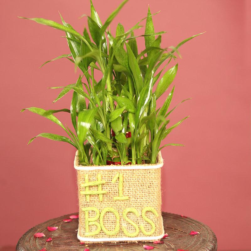 Boss Bamboo Plant