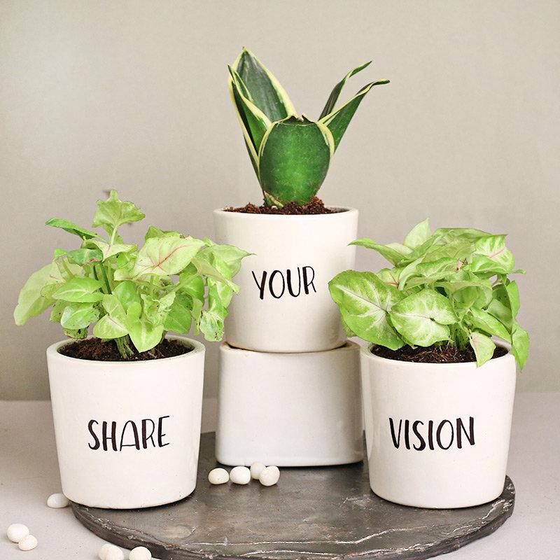 Boss Day Snake Syngonium Plants