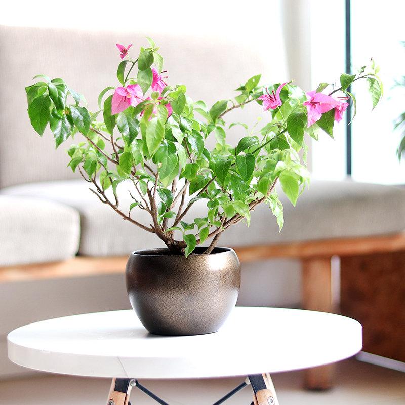 Bougainvillea Bonsai Plant