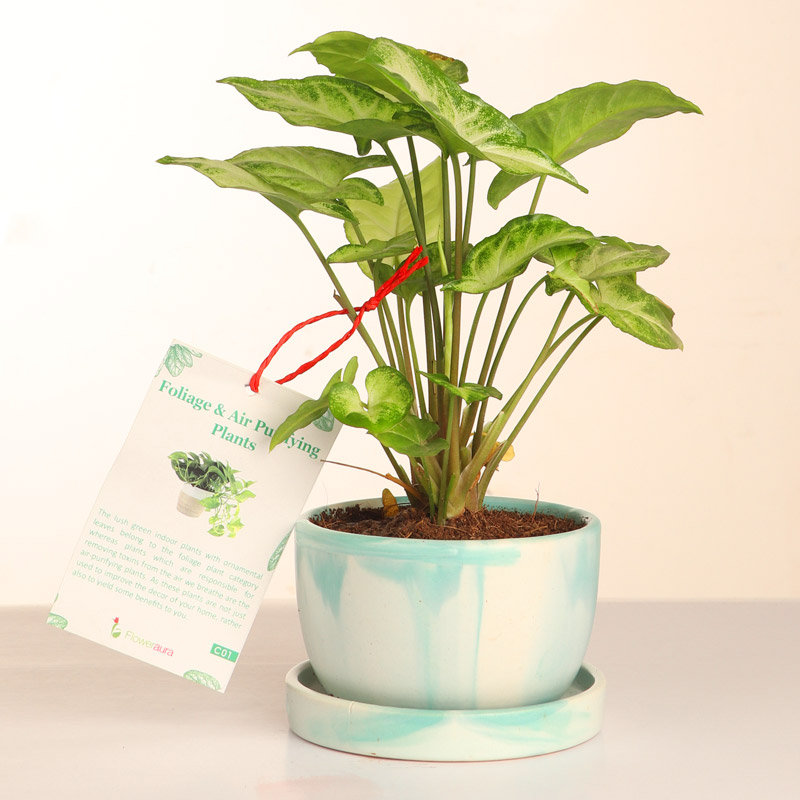 Syngonium Plant For Gifting