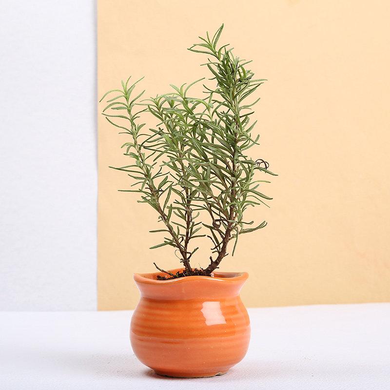 Calming Rosemary Plant
