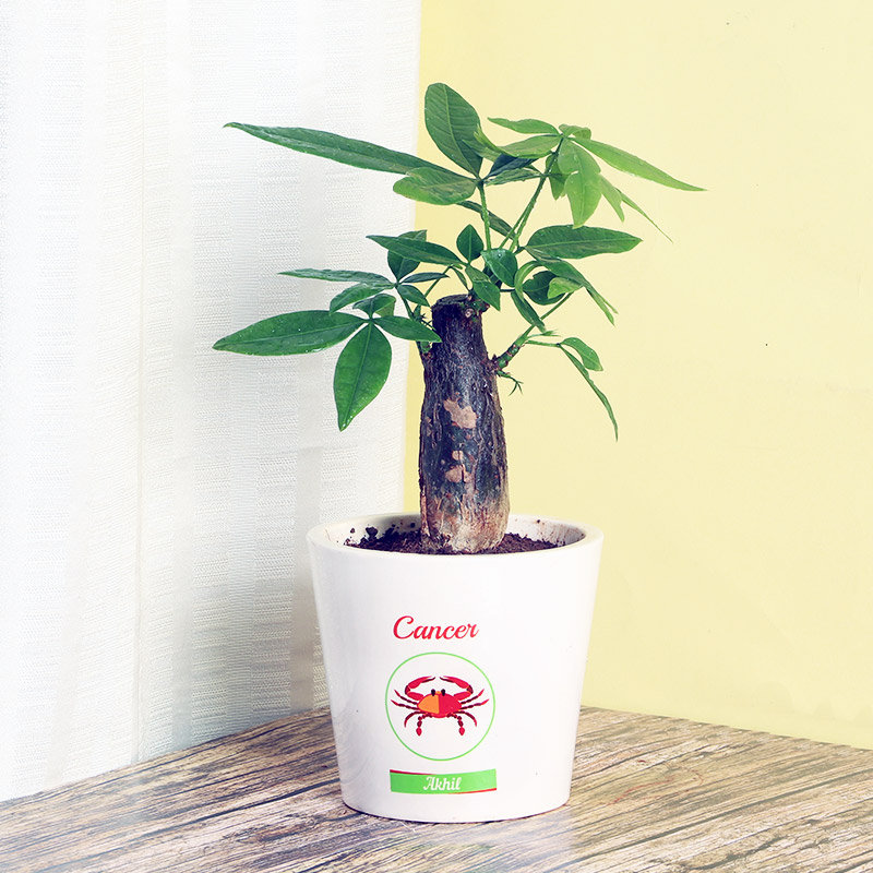 Pachira Money Tree Plant in Personalised Vase for Cancerians