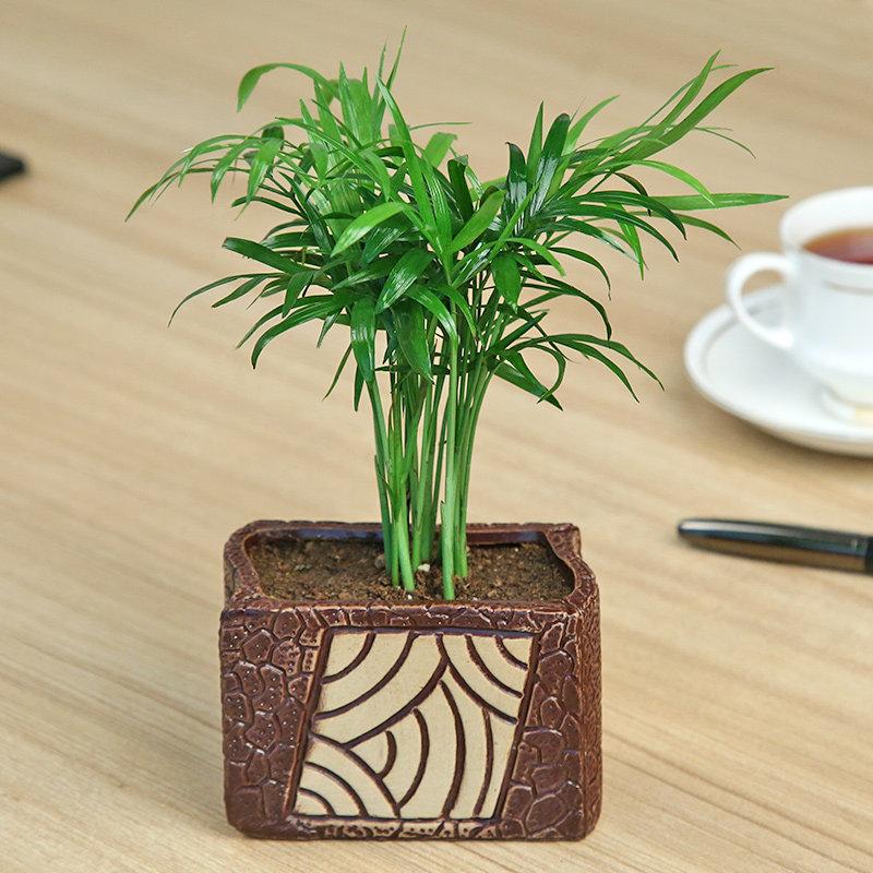 Ceramic Vase Chemendorea Plant