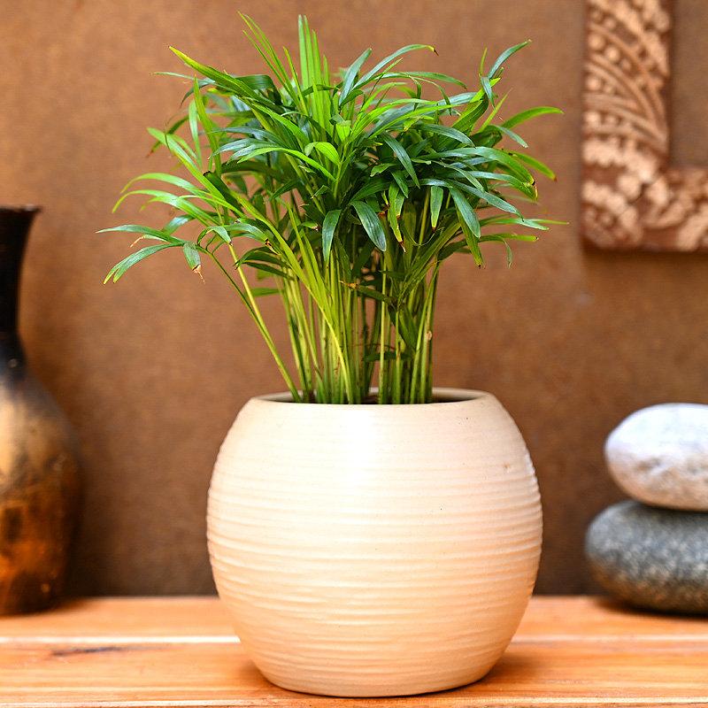 Chamaedorea Plant - Air Purifying Plant Indoors