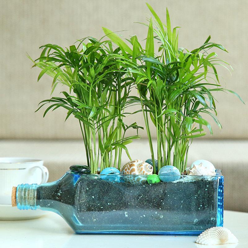 Chamaedorea Plant In Bottle Vase