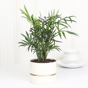 Chamaedorea White Vase Plant