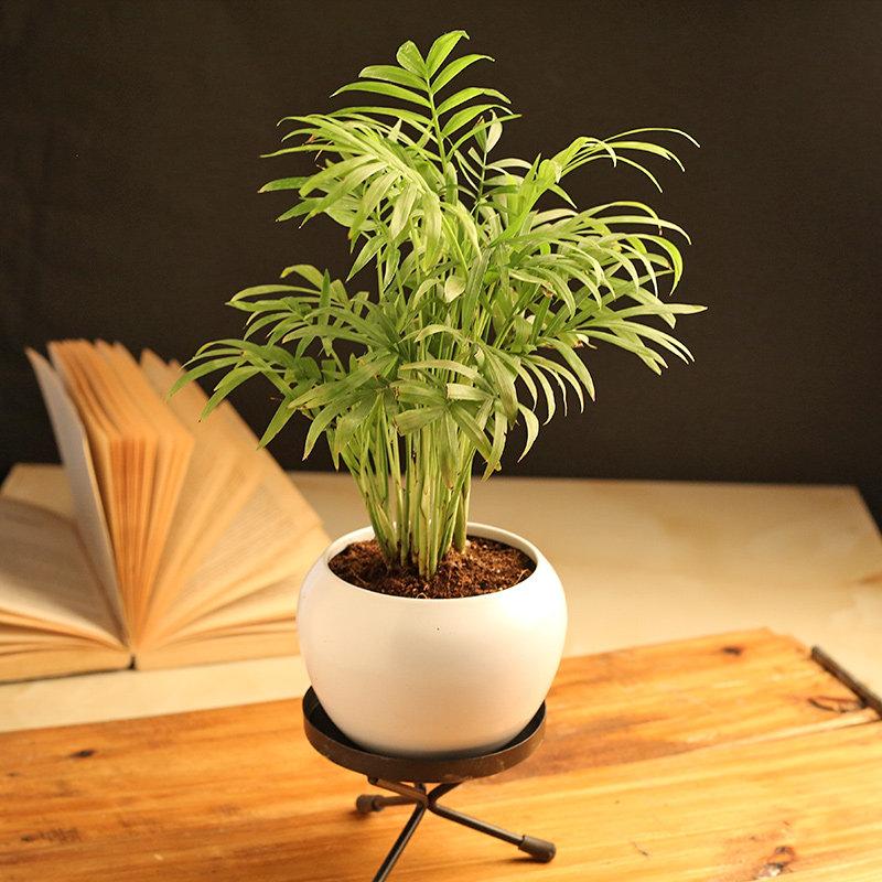 Charming Chamaedorea Palm Plant