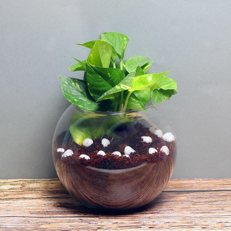 Terrarium Money Plant Online