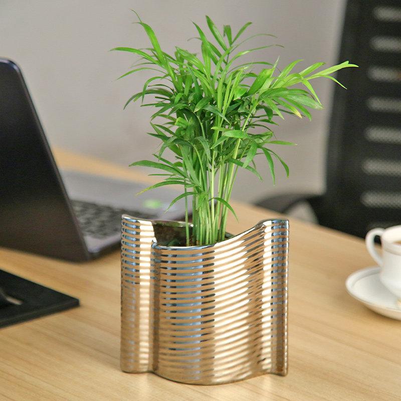 Chemendorea In Shiny Vase