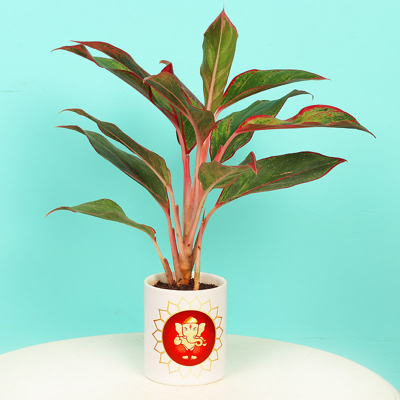 Chinese Evergreen Plant - Air Purifying Plant Indoors in Mug Personalized Vase