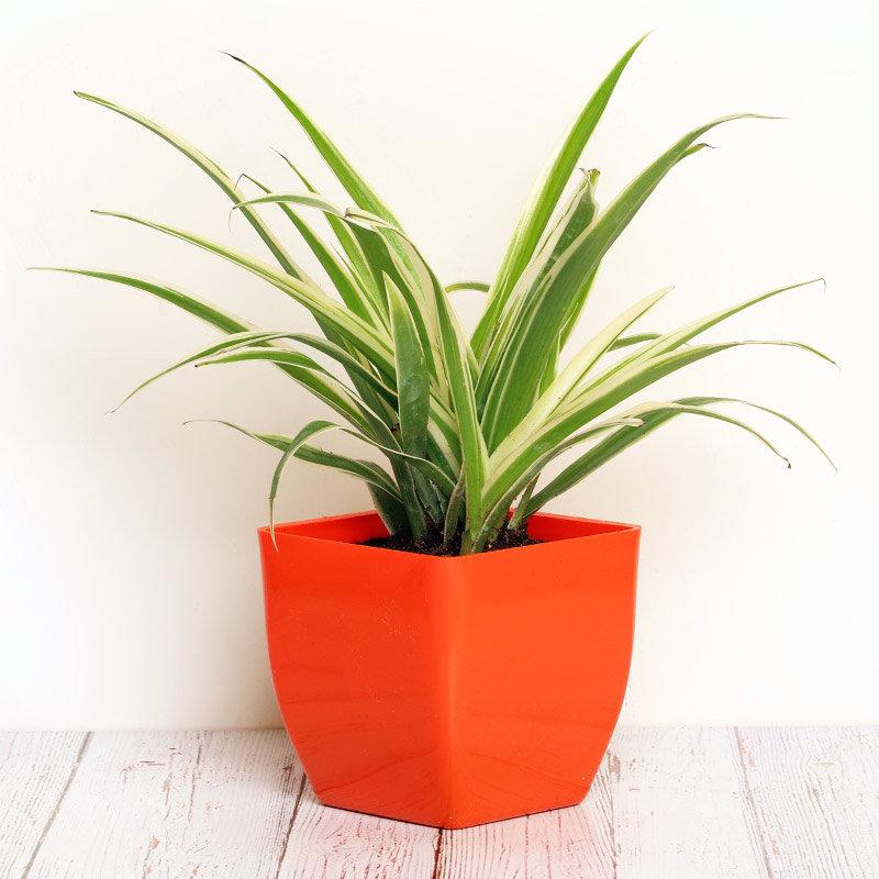 Chlorophytum Plant in a Vase