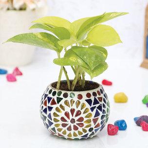 Colourful Golden Pothos|Designer Glass Mosaic Vase