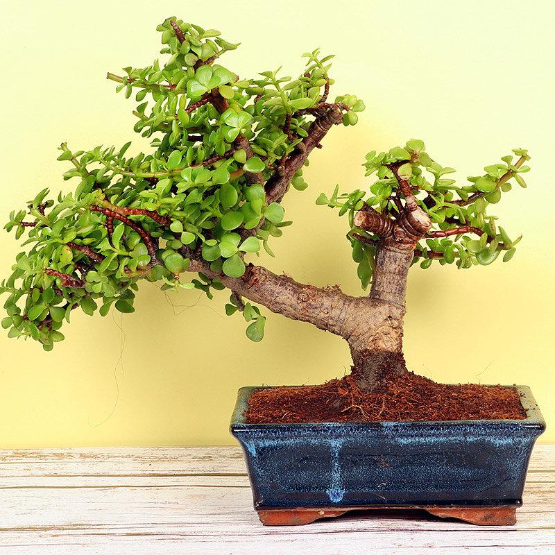 Cool Jade Bonsai