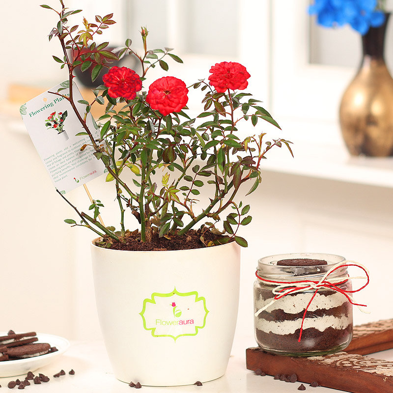 Red Rose Plant and Oreo Jar Cake Combo