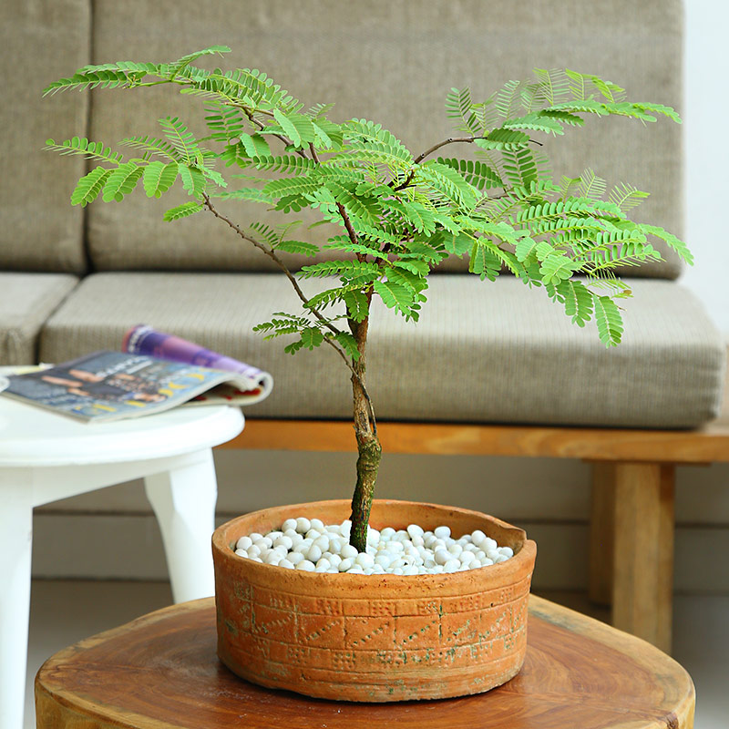 Cute Potted Imli Plant